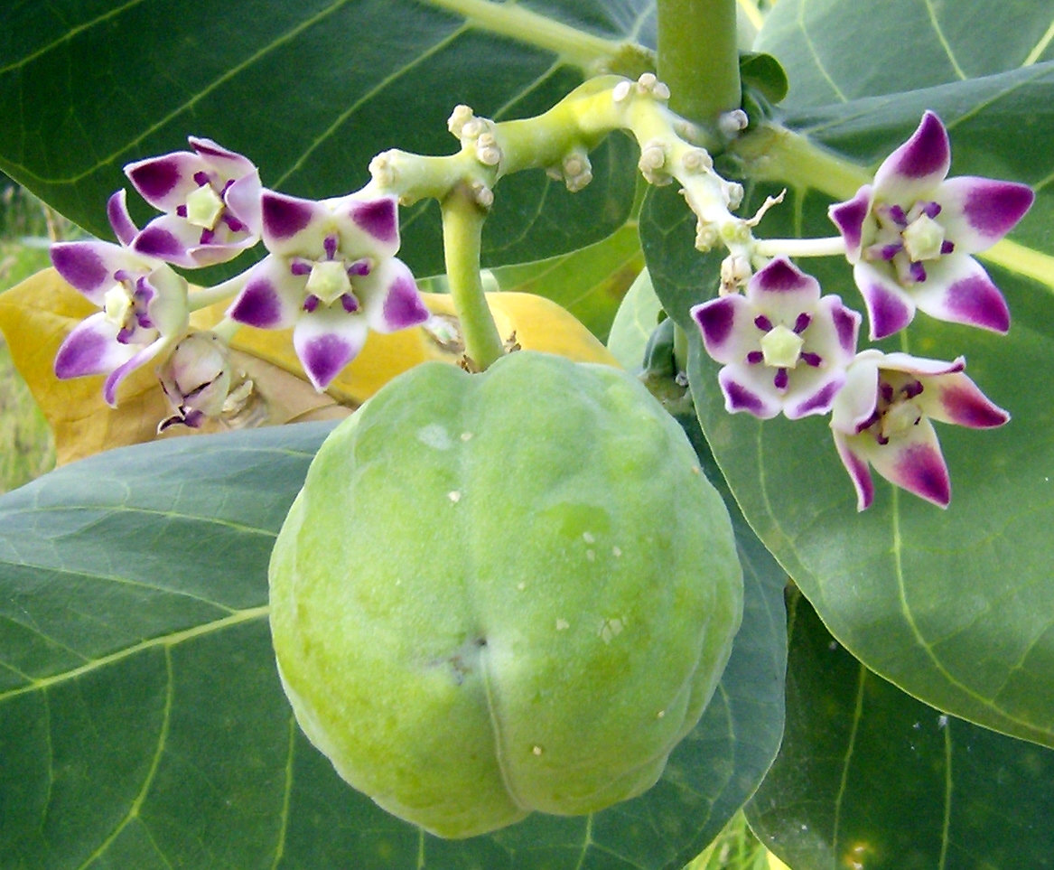 Calotropis procera plant fibres set for production - Apparel Insider